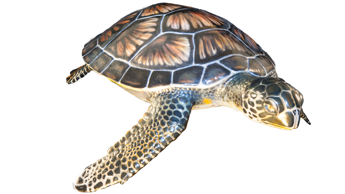 sea-turtle-transparent-16-9-1200.png